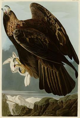 Golden eagle, Audubon